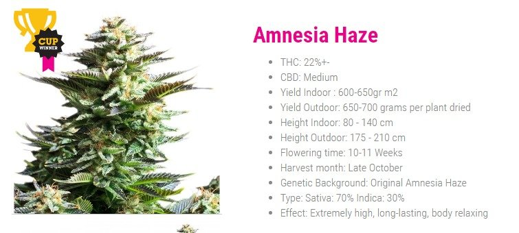 Amnesia Haze 70% Sativa de Royal Queen Seeds