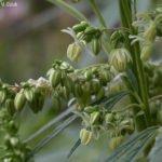 Flores de planta Macho—Marihuana