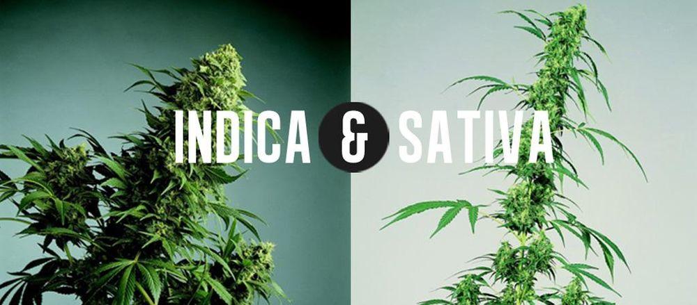 Foto comparativa de cannabis Indica y Sativa