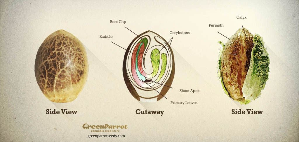 Esquema de composición semilla de cannabis