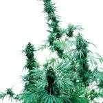 Foto de Early Skunk variedad de marihuana