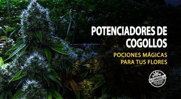 engordar-cogollos-marihuana