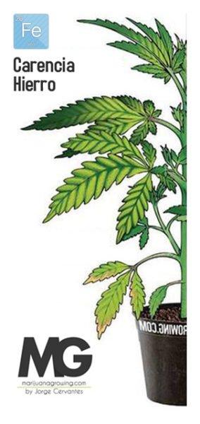 Carencia de Hierro Marihuana