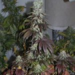 Foto de Swiss Cheese variedad de marihuana