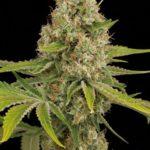 Foto de Og Kush variedad de marihuana