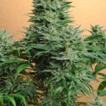 Foto de Papaya variedad de marihuana