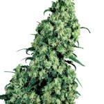 Foto de Skunk #1 variedad de marihuana