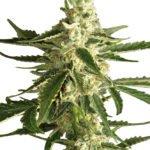 Foto de Auto White Diesel Haze variedad de marihuana