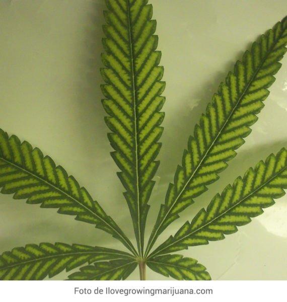 Carencia de Magnesio Marihuana foto de Ilovegrowingmarijuana.com
